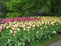 тюльпаны Stock Photography