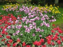 тюльпаны Stock Image