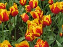 тюльпаны Stock Images