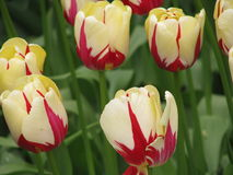 тюльпаны Royalty Free Stock Photo