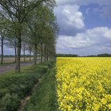 Holland, landscape with rapeseed Royalty Free Stock Images