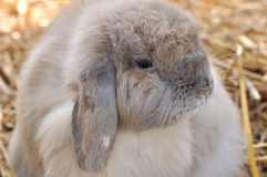 A Holland lop. A gray and white color holland lop, a kind of rabbit, who have featured droop ear and mild nature Stock Photo