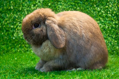Holland lop. Rabbit pose on the grass background royalty free stock photo
