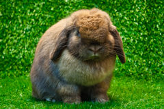 Holland lop. Rabbit pose on the grass background stock photography