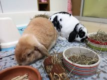 Holland lop bunny enjoy and happy with hay and food stock images