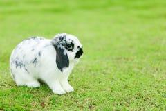 Holland Lop kanin arkivbilder