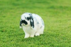 Holland Lop kanin arkivfoton