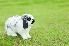 Holland Lop kanin arkivfoto