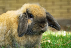 Holland Lop Rabbit Royalty Free Stock Photo