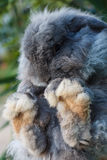 Holland Lop rabbit. Black big feet Royalty Free Stock Photos
