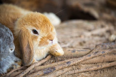 Holland Lop rabbit Stock Image