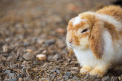 Holland Lop rabbit Stock Photo
