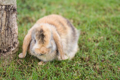 Holland Lop rabbit Stock Photography
