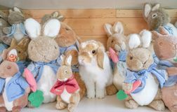 Holland Lop rabbit disguises among other soft plush doll rabbit characters from Peter Rabbit royalty free stock photos