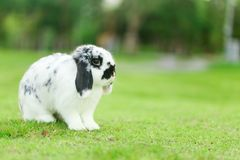 Holland Lop Rabbit Royalty Free Stock Images