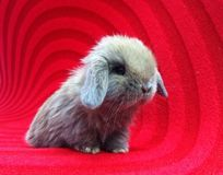 Holland lop rabbit on red carpet Royalty Free Stock Photos