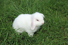 Holland Lop. White Holland Lop baby bunny Royalty Free Stock Image