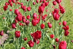 Delightful red tulips dancing. Holland, Michigan is known for their delightful tulips. These lovely red tulips couldn`t wait to show off when I took their Royalty Free Stock Photos