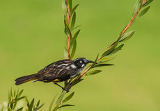 Holland novo Honeyeater Fotografia de Stock
