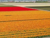 Holland orange tulips beside Keukenhof stock image