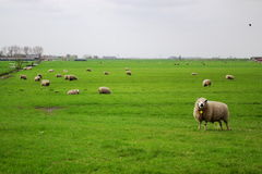 Holland pasture with sheeps Royalty Free Stock Photo
