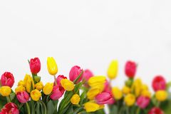 Holland  pink and yellow tulips Royalty Free Stock Photo