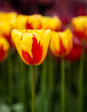 Holland Queen Tulip de jaune et de rouge Images libres de droits