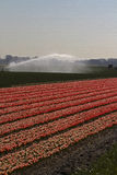 holland śródpolny tulipan Obraz Royalty Free