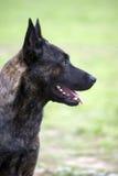 Holland-Schäferhund Lizenzfreies Stockfoto