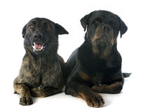 Holland Shepherd en rottweiler Royalty-vrije Stock Foto's