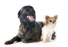 Holland Shepherd och chihuahua Royaltyfri Foto