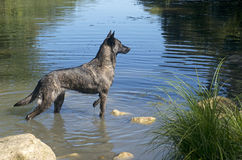 Holland Shepherd. Portrait of an holland shepherd in a river Stock Images