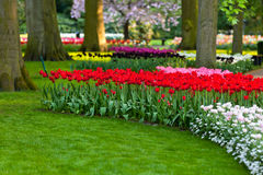 Holland spring flower park. Tulips at sunset light. Bright flowerbed in Keukenhof - famous Holland spring flower park Royalty Free Stock Photo