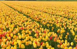 Holland Tulip Fields Imágenes de archivo libres de regalías