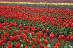 Holland Tulip Fields Imagen de archivo