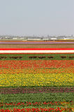 Holland tulip fields Royalty Free Stock Image