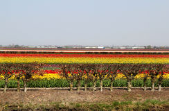 Holland tulip fields Stock Images