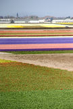 Holland tulip fields Stock Image