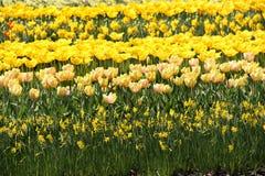 Holland tulip fields Royalty Free Stock Photo