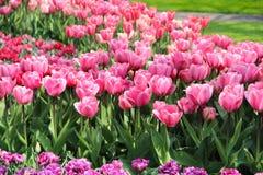 Holland tulip fields Stock Image