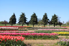 Holland Tulip fields. Colorful Tulips in Tulip fields in Holland, Michigan Stock Photo