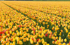 Holland tulip fields Royalty Free Stock Images