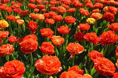 Group of Rose Tulips, Many Flowers. Holland Tulip Time Festival. Featuring several open rose or double tulips Stock Image