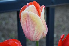 Multicolor Fancy Tulip, Close up. Holland Tulip Time Festival. This one looks like it was painted with watercolor Stock Photo