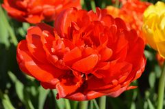 Double Rose Tulip, Close Up. Holland Tulip Time Festival. An open rose or double tulip Stock Photos