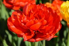 Double Rose Tulip, Close Up. Holland Tulip Time Festival. An open rose or double tulip Stock Images