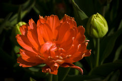 Holland tulipan dziecka Zdjęcia Royalty Free