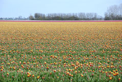Holland Tulips Royaltyfria Bilder