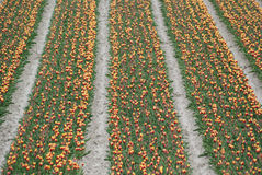 Holland Tulips fotografia de stock