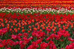 Holland tulips and daffodils field Stock Images